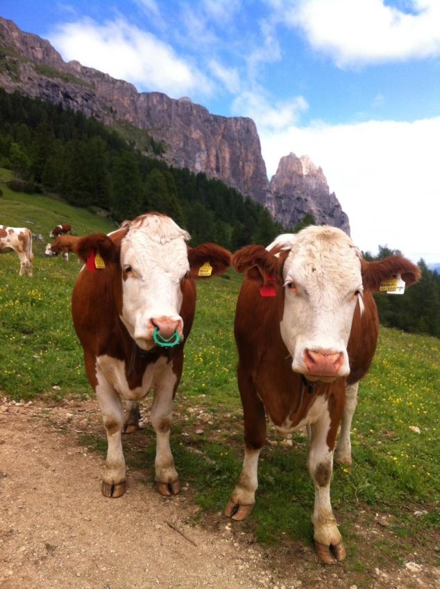 cows alpe de siusi