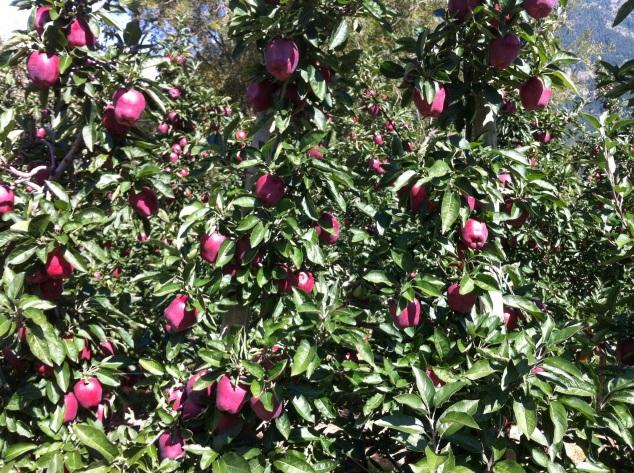 apples alto adige sudtirol italy
