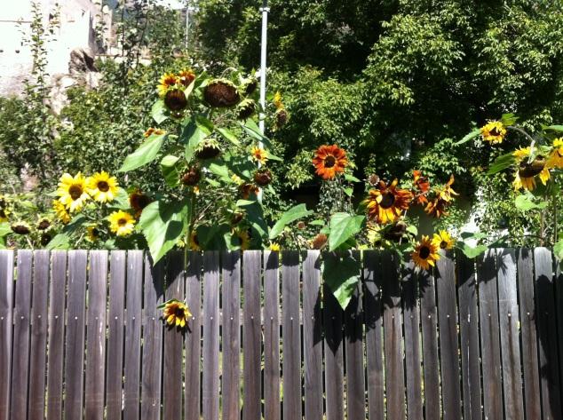 sunflowers alto adige italy